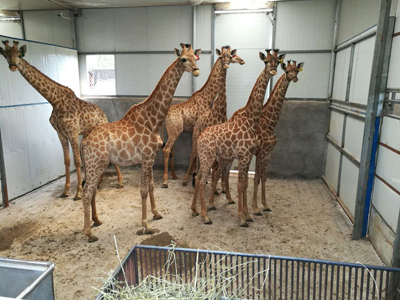 AirBridgeCargo demonstrates the live animals expertise of its 'abc CARE' product by transporting 66 giraffes