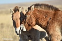 Volga-Dnepr continues to support the reintroduction of endangered Przewalski horses in Russia